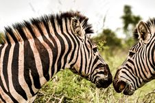 Free Close-Up Photo Of Two Zebras Royalty Free Stock Photos - 131889158