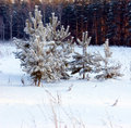 Free Pine-tree Under Snow Royalty Free Stock Image - 1322776