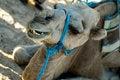 Free Camel Biting Stock Photos - 1328703