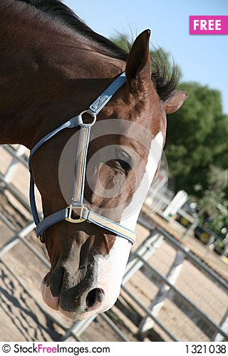 Brown horse wearing a halter Stock Photo