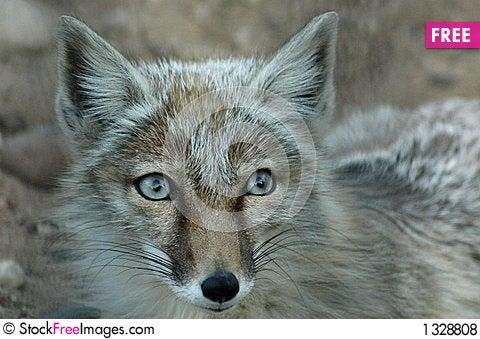 Fox2 Stock Photo