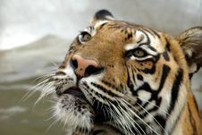 Free Tiger Royalty Free Stock Photography - 1320727
