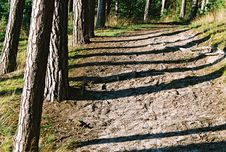 Free Trunks  Shadows Stock Photography - 1320942