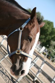 Free Brown Horse Wearing A Halter Royalty Free Stock Photos - 1321038