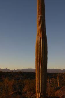 Free Saguaro Cactus Stock Image - 1321531