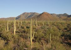 Free Saguaro Cactus Royalty Free Stock Images - 1321599
