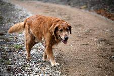 Dog Golden Retriever Royalty Free Stock Photos