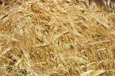 Free Barley Field Stock Image - 1322071