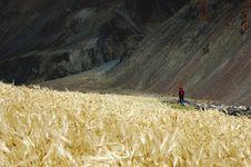 Free Trekker In A Barley Field Royalty Free Stock Photo - 1322075
