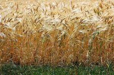 Free Barley Field Stock Image - 1322101