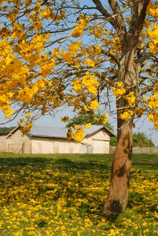Free Yellow Blossoms With Farm Shed In Backgrouond Stock Photos - 1322633