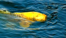 Free Japanese Koy Fish Surfaceing 2 Stock Image - 1322661
