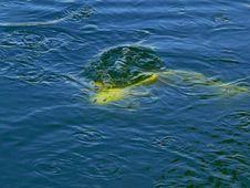 Free Japanese Koy Fish Royalty Free Stock Images - 1322669