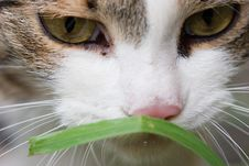 Free Cat Tasting Grass Stock Photography - 1322932