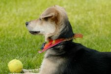 Free Dog With Tennis-ball Royalty Free Stock Images - 1323009