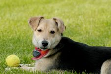 Free Dog With Tennis-ball Royalty Free Stock Image - 1323046