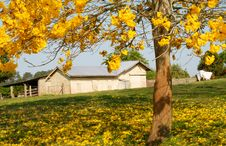 Free Yellow Blossoms With Farm Shed In Backgrouond Stock Photos - 1323253