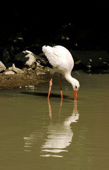 Free Heron Royalty Free Stock Photo - 1323615