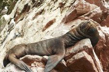 Free Sea Lion Royalty Free Stock Photography - 1323737
