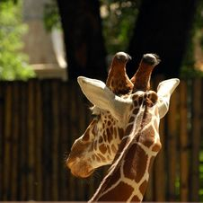 Free Giraffe Royalty Free Stock Photography - 1323807