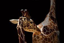 Free Giraffe Stock Image - 1323831