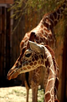Free Giraffe Stock Photography - 1323902
