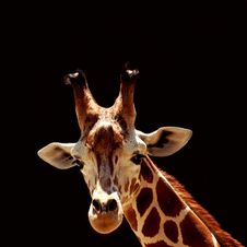 Free Giraffe Royalty Free Stock Photography - 1323927