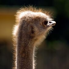 Free Ostrich Stock Photos - 1324173