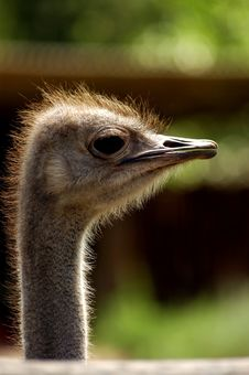 Free Ostrich Stock Photo - 1324180