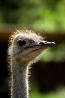 Free Ostrich Stock Image - 1324211