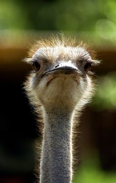 Free Ostrich Royalty Free Stock Images - 1324229