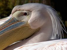 Free Pelican Royalty Free Stock Photo - 1324355