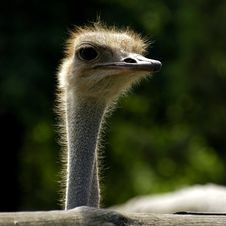 Free Ostrich Royalty Free Stock Photos - 1324358
