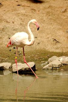Free Flamingo Royalty Free Stock Image - 1324386