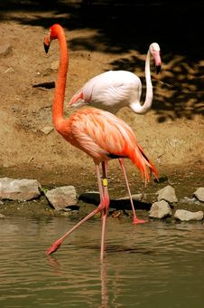 Free Flamingo Stock Image - 1324441