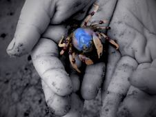 Little Hands, Little Crab Royalty Free Stock Photo