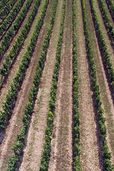Free Vineyard From Above Royalty Free Stock Images - 1325159