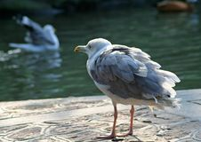 Free Gull Stock Images - 1326324