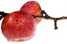 Free Isolated Red, Wet Apples On The Branch Royalty Free Stock Images - 1326629
