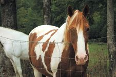 Free Brown And White Horse Royalty Free Stock Images - 1326889