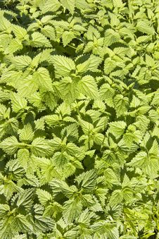 Free Nettle Royalty Free Stock Image - 1327436