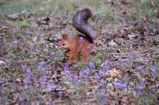 Free Squirrel Royalty Free Stock Photo - 1328395