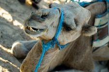 Free Camel Biting Stock Photos - 1328703