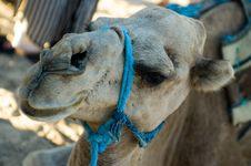 Free Camel Closeup, Dromedary Stock Images - 1328704