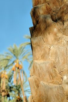 Free Trunk Of Palm Tree Closeup Stock Image - 1328711