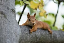 Free Squirrel Royalty Free Stock Photography - 1329277