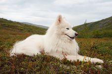 Samoed In The Khibiny Mountains Stock Photography