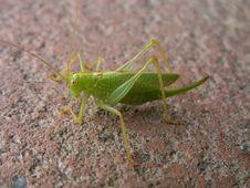 Free Grasshopper Royalty Free Stock Photos - 1329838
