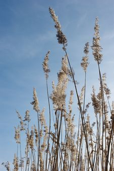 Free Reed Against The Blue Sky Royalty Free Stock Images - 13205969