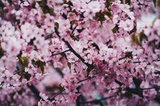 Free Photo Of Pink Cherry Blossoms Stock Photo - 132036680